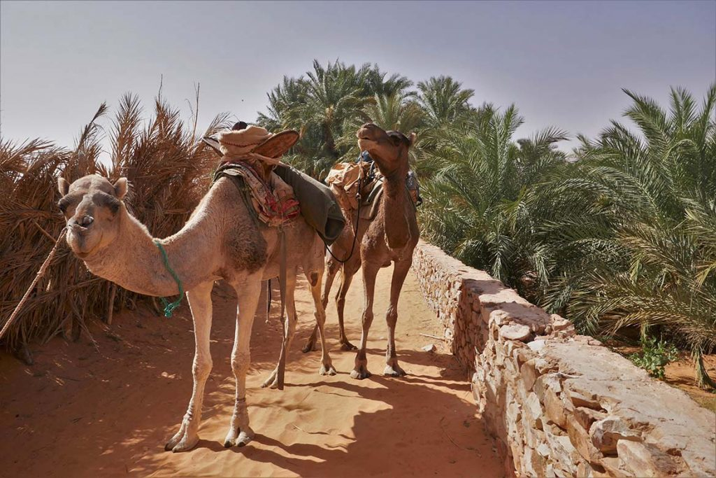 Two Camels at the Oasis in Chinguetti - Mauritania