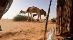 Exhausted View of Two Camels from Inside of Nomad Tent Near Chinguetti - Mauritania