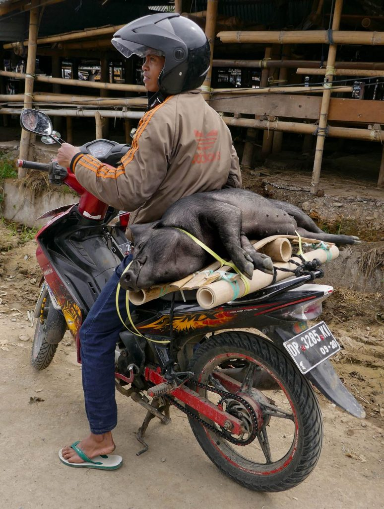 Pig Transported on Motorbike from Livestock Market in Toraja - Indonesia