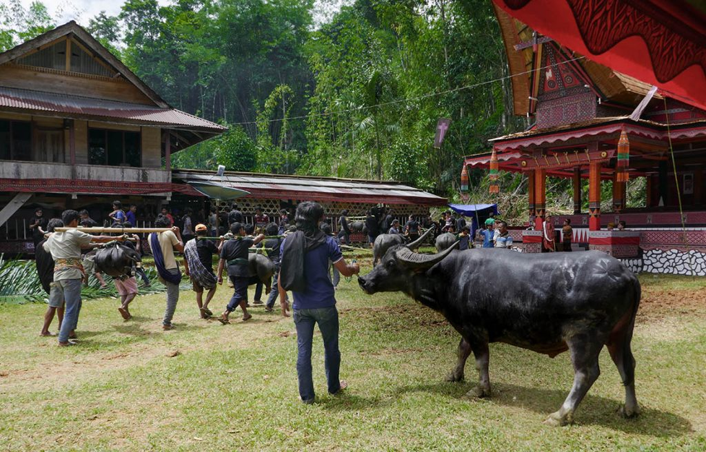 Presentation of Livestock Sacrifices at Torajan Funeral on Sulawesi - Indonesia