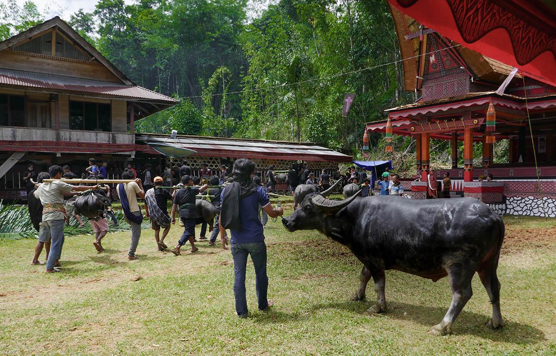 Presentation of Livestock Sacrifices at Torajan Funeral on Sulawesi - Indonesia