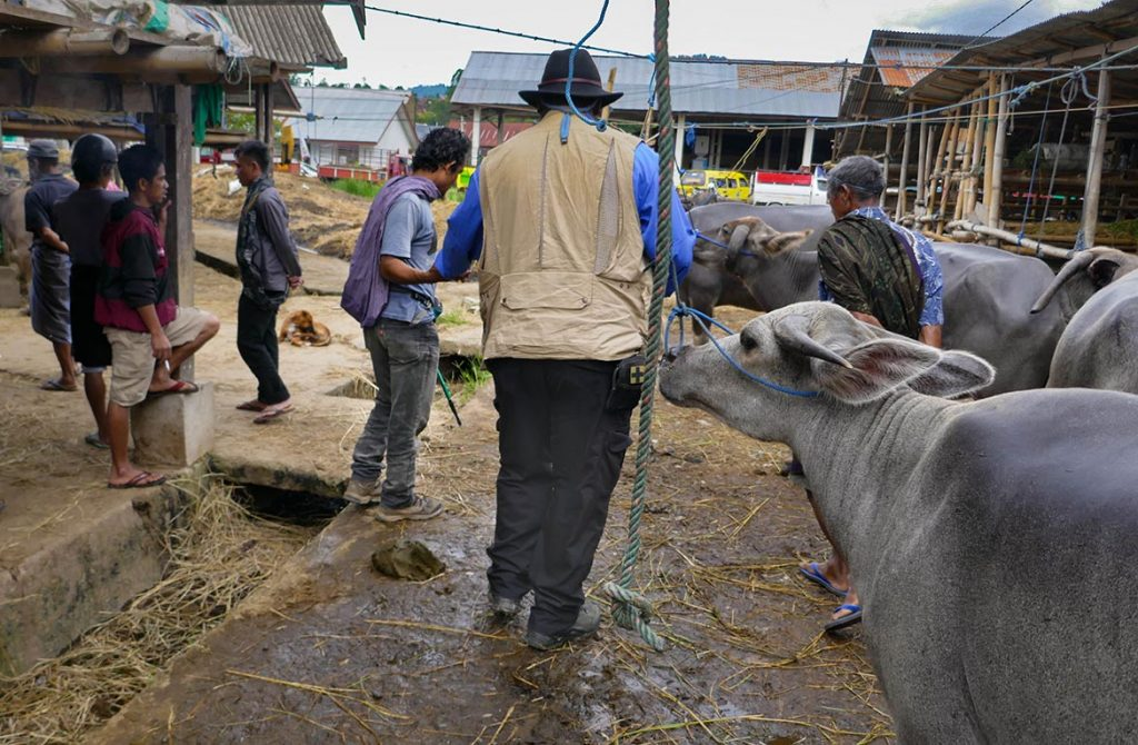 Tim Dodging Cowpies at Livestock Market in Toraja, Indonesia