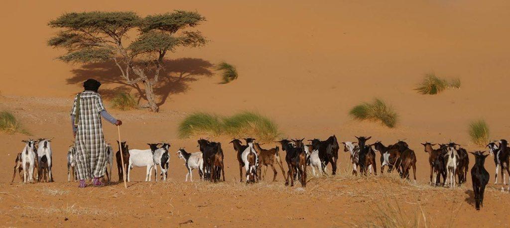 Goat Herding Nomad in the Sahara Desert - Adrar Region - Mauritania