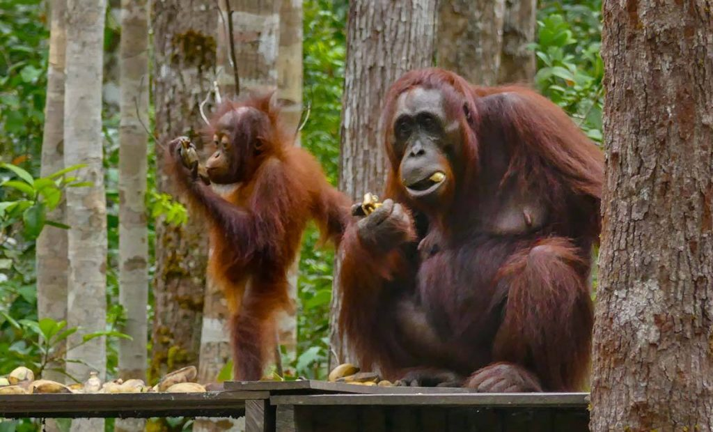 Young Orangutan Keeps a Hand on Mom While Eating on Borneo Orangutan Tour