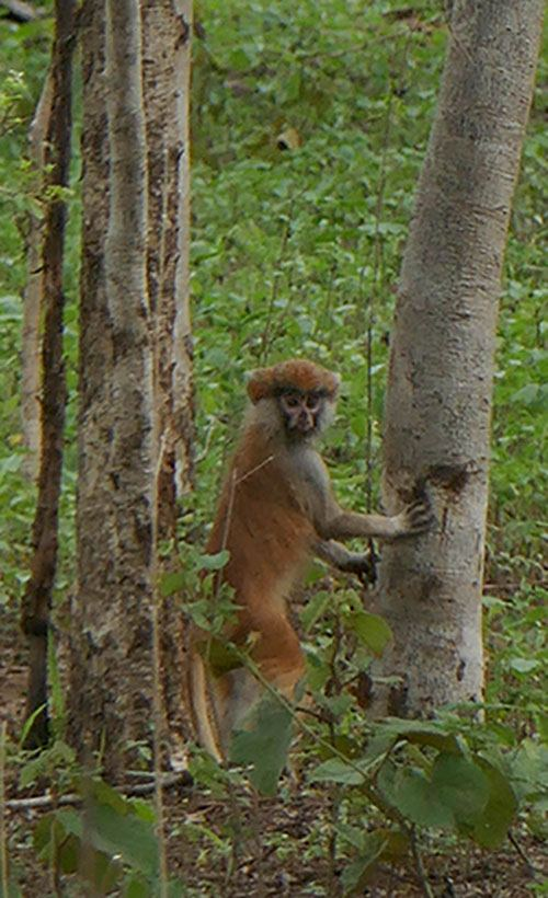 A Red Monkey as Seen on Safari in Ghana
