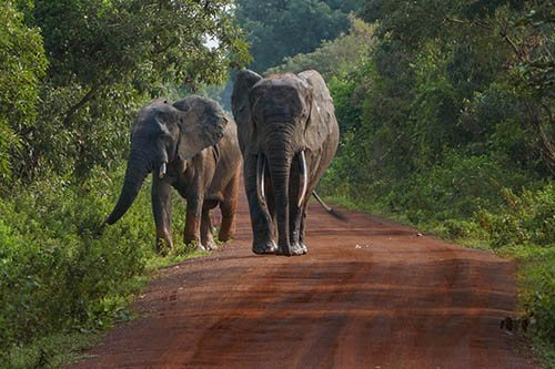 Two elephants walking straight toward us on the road in Mole National Park