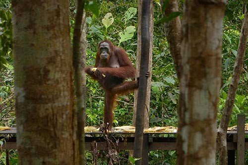 Female Orangutan Standing on One Foot While Eating