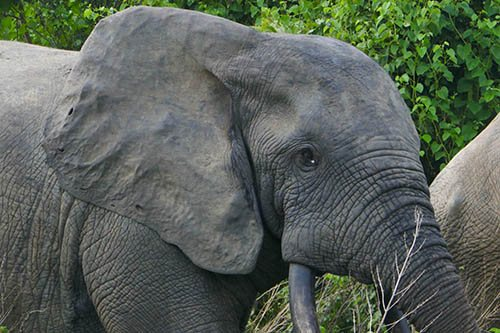 Young Forest Elephant from West African Safari in Ghana at Mole National Park - Close-up