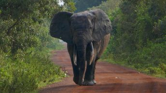 Forest Elephant on Road in Mole National Park - Ghana