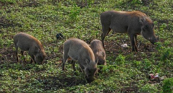 Group of Warthogs - Mole Safari Park