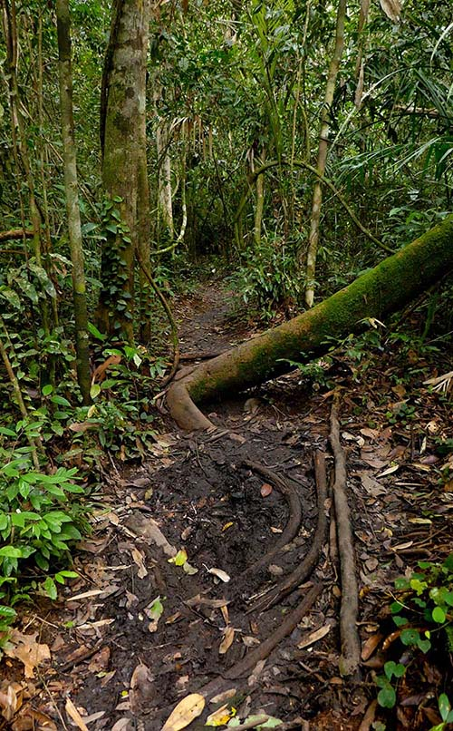 Jungle Path with Mossy Tree in Kalimantan
