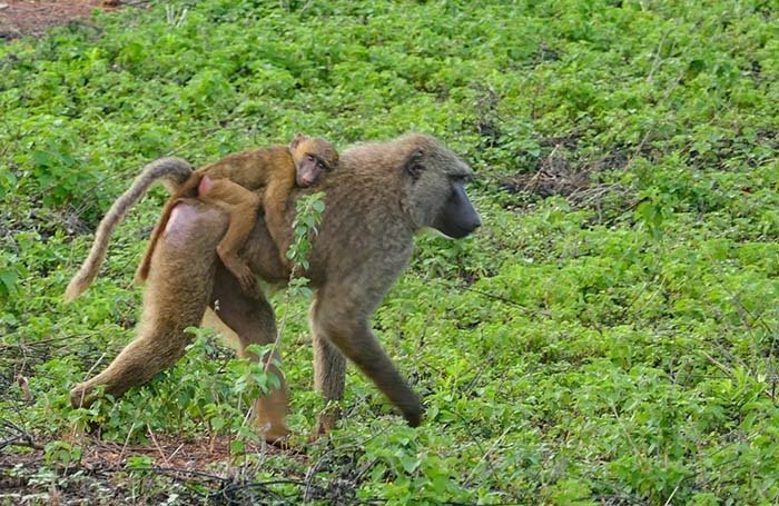 Mama Baboon with Baby - in Ghana National Park