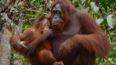 Mom Holding Young Orangutan in Kalimantan