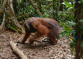Orangutan Walking Under Rope in Borneo
