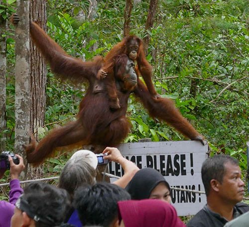 Orangutan with Child Swinging Over Crowd