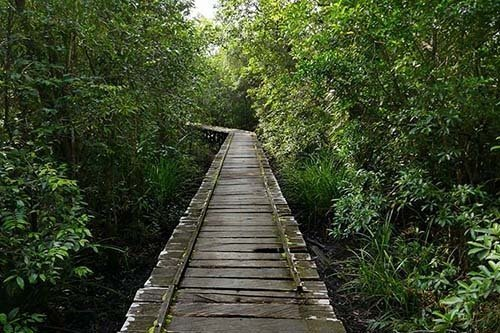 Raised Wooden Walkway through Jungle at Camp Leakey