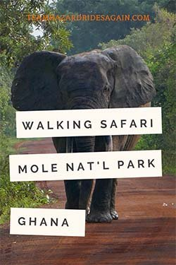 Pin for Mole National Park - the Great Ghana Safari - image shows large elephant walking toward viewer on dirt road