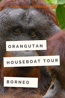 Pin for Orangutan Houseboat Tour in Borneo - shows orangutan looking toward viewer