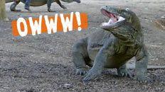 Komodo Dragons - Fight!